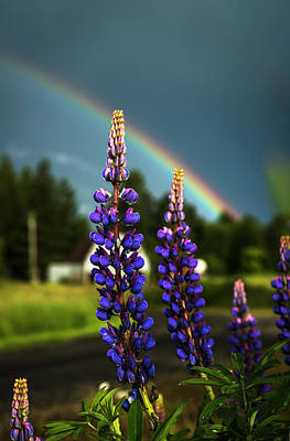 A Rainbow Arcs Over Lupine Blossom Poster by Robert L. Potts