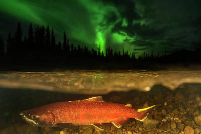 A Red Chinook Salmon Spawning Poster by Peter Mather
