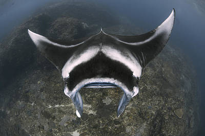 A Reef Manta Ray Swimming Above A Reef Poster by Steve Jones