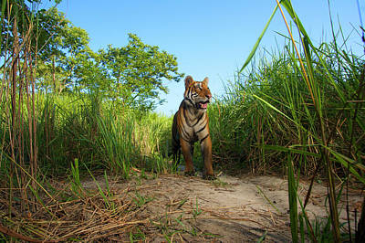 A Remote Camera Captures A Bengal Tiger Poster by Steve Winter