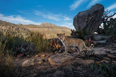 A Remote Camera Captures A Cape Leopard Poster by Steve Winter