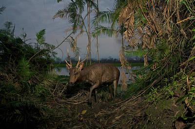 A Remote Camera Captures A Sambar Deer Poster by Steve Winter