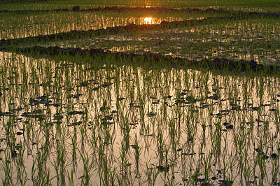 A Rice Paddy In Kaziranga National Park Poster
