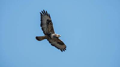 A Rough-legged Hawk (buteo Lagopus Poster