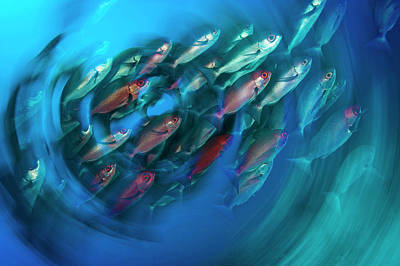 A School Of Pinjalo Snappers Poster