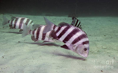 A School Of Sheepshead Feeding Poster