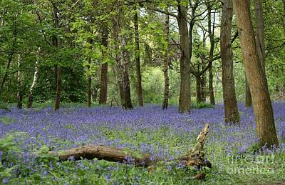 A Sea Of Bluebells Poster