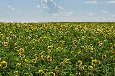 A Sea Of Sunflowers Poster