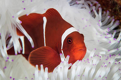 A Spine-cheeked Anemonefish Swims Among Poster