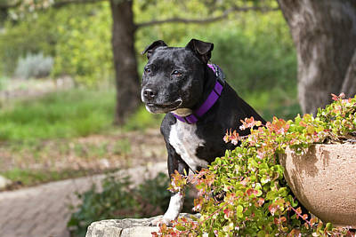 A Staffordshire Bull Terrier Sitting Poster