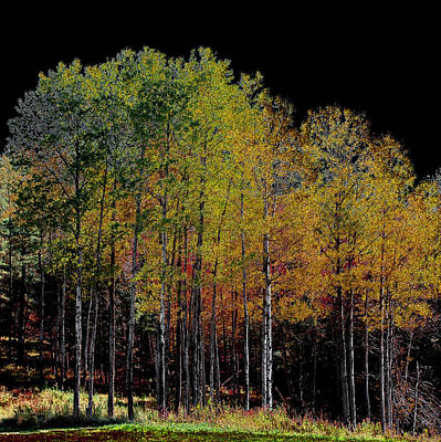 A Stand Of Birch Trees In Autumn Poster by David Patterson