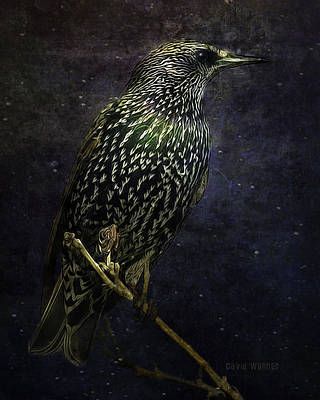 A Starling In Starlight Poster by David Wagner
