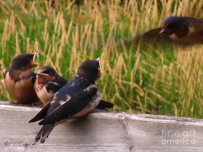 A Third Baby Barn Swallow Has Joined The Lunch Crowd Poster by J McCombie