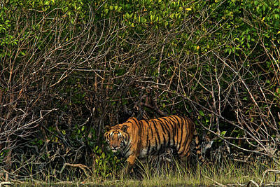 A Tiger Walks Among The Mangroves Poster by Steve Winter