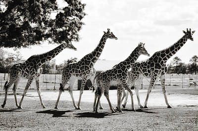 A Tower Of Giraffe - Black And White Poster