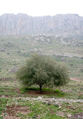 A Tree In Israel Poster