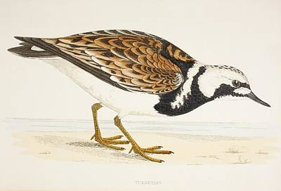 A Turnstone. Arenaria Interpres. From A Poster by Ken Welsh