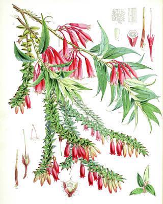 A. Vaccinium Salignum, H.f. Et T.  B. Vaccinium Serpens Poster by Artokoloro
