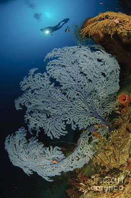 A Very Rare Blue Sea Fan, Gorontalo Poster by Steve Jones