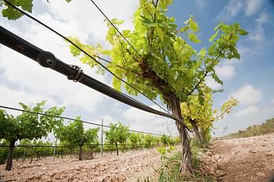 A Vineyard Near Jumilla Poster by Ashley Cooper