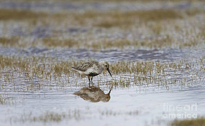 A Wading Dunlin Poster