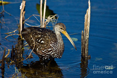 A Wading Limpkin Poster by Mark Newman