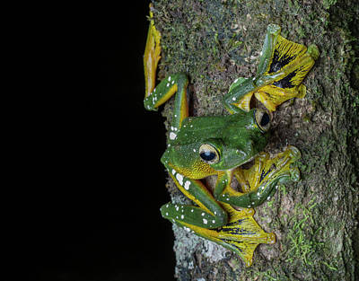 A Wallaces Flying Frog, Rhacaphorus Poster