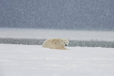 A Yearling Polar Bear Cub Lays Poster by Hugh Rose