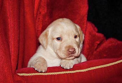 A Yellow Labrador Retriever Puppy Lying Poster