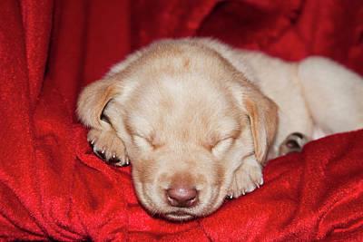 A Yellow Labrador Retriever Puppy Poster