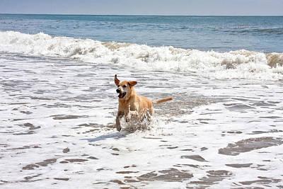 A Yellow Labrador Retriever Running Poster