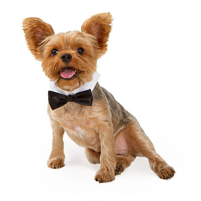 A Yorkshire Terrier Puppy With A Bow Tie Poster by Susan Schmitz