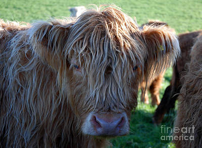 A Young Highland Cow Gazing Intently 0838 Poster by Colin Munro