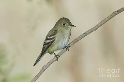 Acadian Flycatcher Poster by Anthony Mercieca