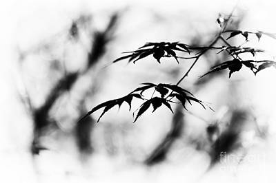 Acer Burgundy Lace Monochrome Poster