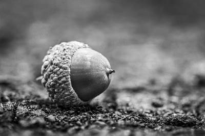 Poster featuring the photograph Acorn. by Gary Gillette