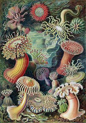 Actiniae Sea Anemones Poster by Library Of Congress