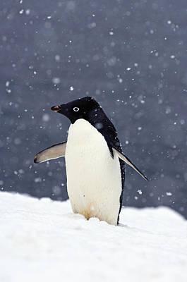 Adelie Penguin Standing In Fresh Poster by Steven Kazlowski