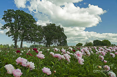 Adleman's Peony Fields Poster by Nick  Boren
