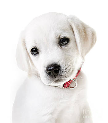 Adorable Yellow Lab Puppy Poster