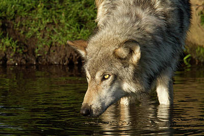 Adult Grey Wolf Canis Lupus Poster