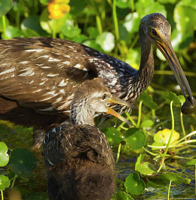 Adult Limpkin With Apple Snail Poster by Maresa Pryor