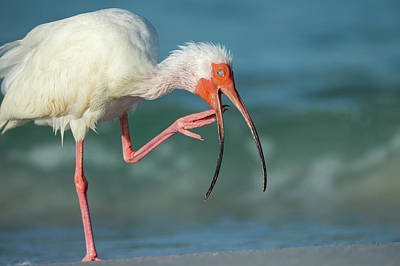 Adult White Ibis Scratching Poster by Maresa Pryor