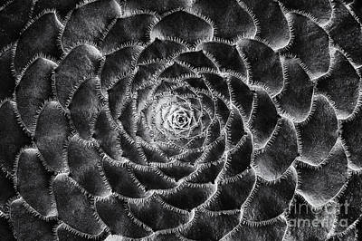 Aeonium Monochrome Poster by Tim Gainey