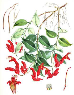 Aeschynanthus Peelii, H.f. & T., Fitch Poster by Artokoloro