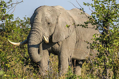 Africa, Botswana, Savute Game Reserve Poster