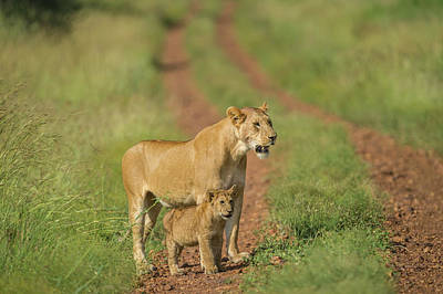 Africa, Lioness And Cub Poster