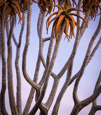 Africa, Namibia Close-up Of Quiver Tree Poster by Jaynes Gallery