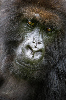 Africa Rwanda Female Mountain Gorilla Poster by Ralph H. Bendjebar