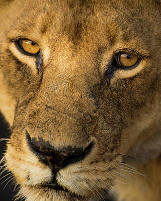 Africa Tanzania African Lioness Poster